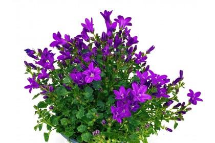"Campanula Purple 4"""