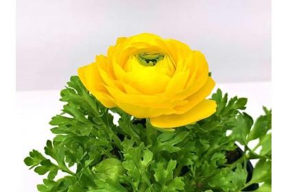"Ranunculus 4"" Yellow"