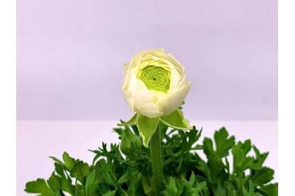 """Ranunculus 4"""" White"""