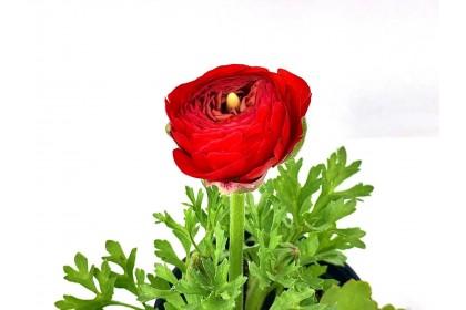"""Ranunculus 4"""" Red"""