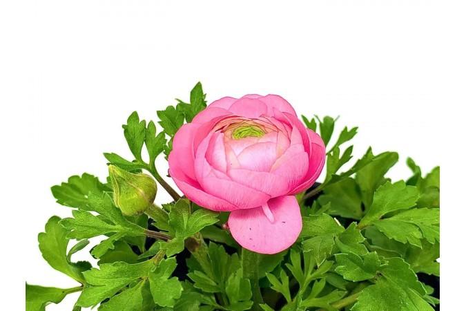 """Ranunculus 4"""" Ligh Pink"""