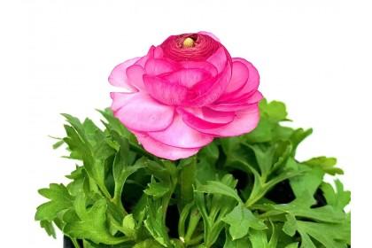 "Ranunculus 4"" Pink"