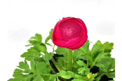 "Ranunculus 4"" Dark Pink"