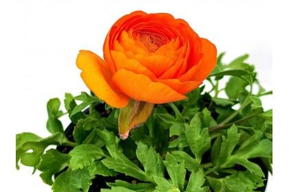"""Ranunculus 4"""" Orange"""