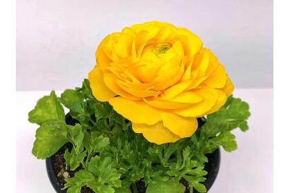 "Ranunculus 4"" Light Orange"
