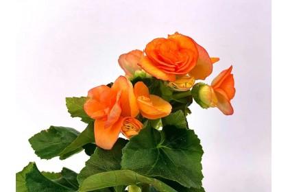 """Begonia Orange  4"""""""