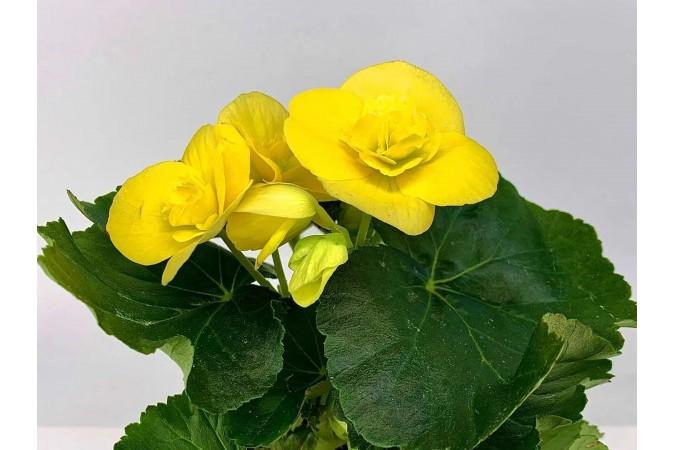 """Begonia Yellow  4"""""""