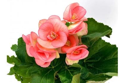 """Begonia Pink  4"""""""