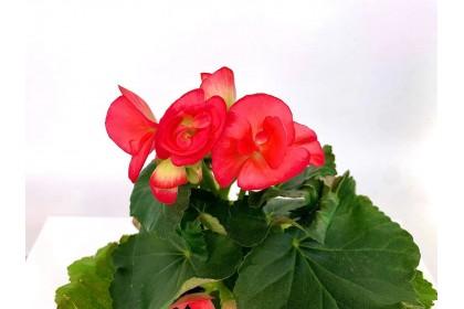 """Begonia Red  4"""""""