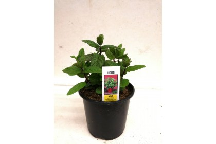 """HERB POT  MINT  4""""  2 FOR $ 5.00"""