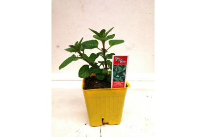 """HERB POT PEPPERMINT BERRIES AND CREAM 3"""" YELLOW POT"""