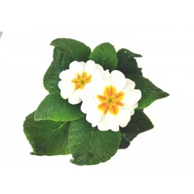 Primula  white  4 inch 2 for $5
