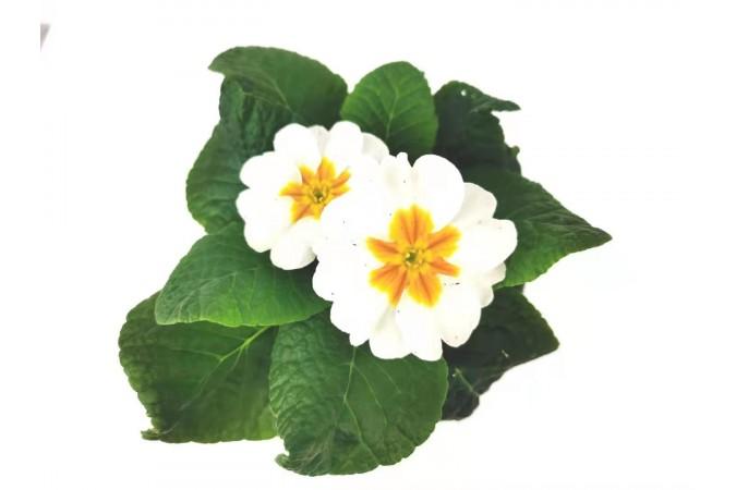 Primula  white  4 inch 2 for $5