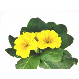 Primula  yellow  4 inch 2 for $5
