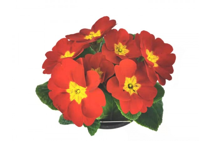 Primula  red  4 inch 2 for $5