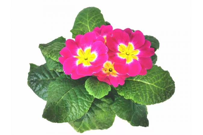 Primula  pink  4 inch 2 for $5
