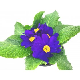 Primula  purple  4 inch 2 for $5