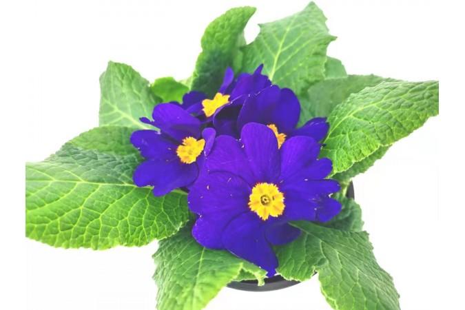 Primula  purple  4 inch 2 for $5