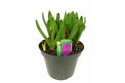 "HYACINTH 8"" PURPLE"
