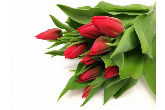 Tulip CUT  10 STEM RED A
