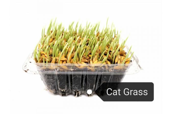 """CAT GRASS 5"""""""