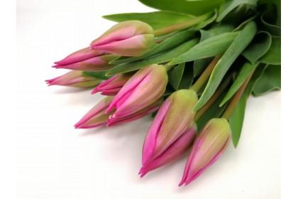 Tulip CUT  10 STEM  PURPLE NEW