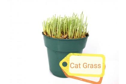"""CAT GRASS 4"""""""