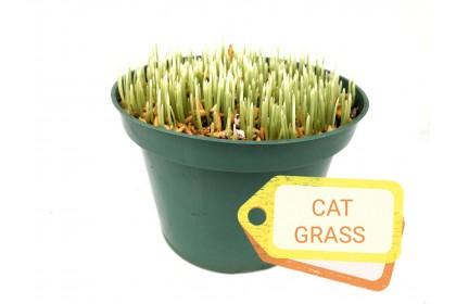 """CAT GRASS 6"""""""