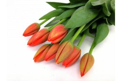 Tulip Cut Worlds Favoite Orange colour 10 stand