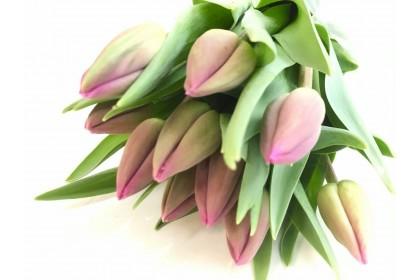 Tulip Cut Purple  (10 stems)